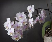 Phalaenopsis orchid with bloomy spike on grunge texture Royalty Free Stock Photography