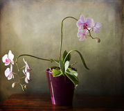 Phalaenopsis orchid with bloomy spikes on grunge texture Royalty Free Stock Photos