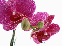 Phalaenopsis Orchid Blossom Stock Images
