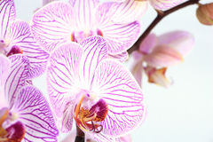 Phalaenopsis orchid branch closeup Royalty Free Stock Images