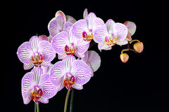 Phalaenopsis orchid branch isolated on black Royalty Free Stock Photo