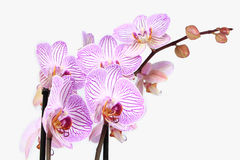 Phalaenopsis orchid branch isolated Stock Photography