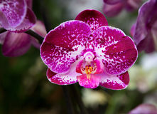 Phalaenopsis Orchid Burgundy spotted Royalty Free Stock Photo