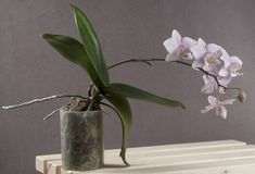 Phalaenopsis orchid (butterfly orchid) Stock Photos