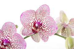 Phalaenopsis orchid close-up Stock Photo
