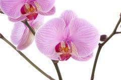 Phalaenopsis orchid close-up Stock Image