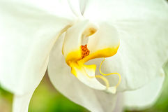 Phalaenopsis orchid. Close up orchia,Phalaenopsis orchid Royalty Free Stock Images