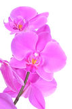 Phalaenopsis orchid, close up view Stock Photography