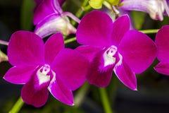 Phalaenopsis orchid closeup Stock Image