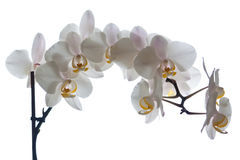 Phalaenopsis orchid flower. Picture of phalaenopsis flower isolated on white Stock Photos