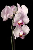 Phalaenopsis orchid flower Royalty Free Stock Photography