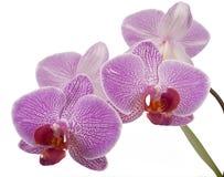 Phalaenopsis orchid Stock Photography