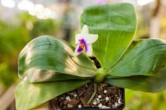 Phalaenopsis Orchid flower close up.Floral background. Selective focus Royalty Free Stock Image