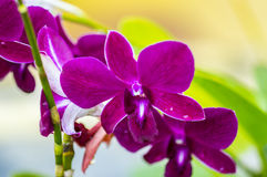 Phalaenopsis orchid flower Stock Photo