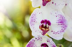 Phalaenopsis orchid flower Royalty Free Stock Photos