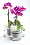 Phalaenopsis orchid in flower pot Royalty Free Stock Photo