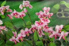Phalaenopsis orchid flowers. Royalty Free Stock Photo