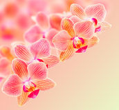Phalaenopsis orchid flowers. On a blurred background Stock Image