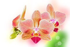 Phalaenopsis orchid flowers. On a blurry background Royalty Free Stock Photo