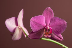 Phalaenopsis orchid flowers Stock Images