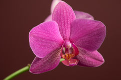 Phalaenopsis orchid flowers Stock Photos