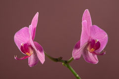 Phalaenopsis orchid flowers Royalty Free Stock Images
