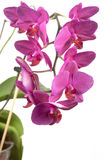 Phalaenopsis orchid flowers (butterfly orchid) Stock Images