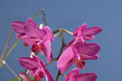 Phalaenopsis orchid flowers (butterfly orchid) Stock Photo