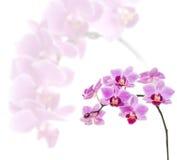 Phalaenopsis orchid flowers Stock Photos