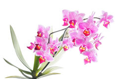 Phalaenopsis orchid in full bloom stock photos