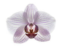 Phalaenopsis orchid is like a bird Royalty Free Stock Photos