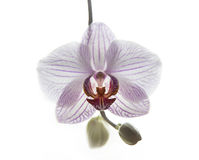 Phalaenopsis orchid is like a bird Royalty Free Stock Photo