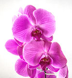 Pink Orchid - Phalaenopsis. Pink Orchid against white background Stock Photography