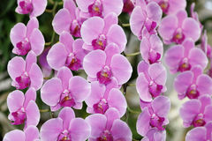 Phalaenopsis orchid Royalty Free Stock Photos