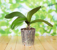 Phalaenopsis orchid in pot on wooden table Stock Photo