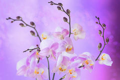 Phalaenopsis. Royalty Free Stock Images