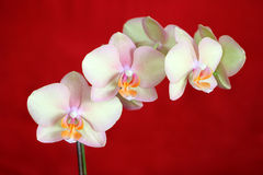 Phalaenopsis Orchid on red. A recent cultivar of Phalaenopsis type of Orchid with very subtle colors. The perfect inflorescence of 6 flowers is supported by a royalty free stock images
