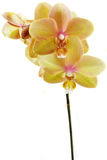 Phalaenopsis orchid stem Royalty Free Stock Images