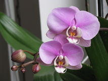 Phalaenopsis Orchid. Tropical plant in the greenhouse Royalty Free Stock Photography