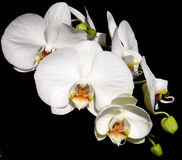 Phalaenopsis Orchid White Stock Photography