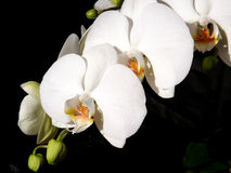 Phalaenopsis Orchid White3 Stock Images