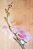 Phalaenopsis. Stock Photos