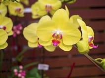 Phalaenopsis, Orchidaceae Stockbilder