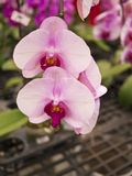 Phalaenopsis, Orchidaceae Stock Photo