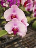 Phalaenopsis, Orchidaceae Stock Photo