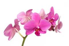 Phalaenopsis Orchidaceae die op witte backgro wordt geïsoleerd Stock Fotografie