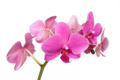 Phalaenopsis Orchidaceae isolated on white backgro Stock Photography