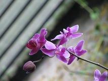 Phalaenopsis orchidea Obrazy Stock