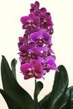 Phalaenopsis orchidea Burgundy Obraz Royalty Free