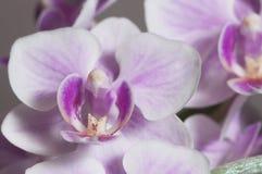 Phalaenopsis orchidea kwitnie motyliej orchidei obrazy royalty free